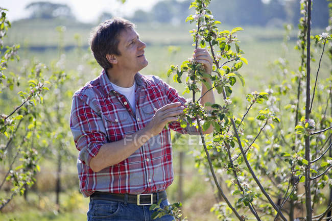 Farmer checking cider apple trees in orchard — Stock Photo