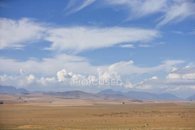 Landschaft mit Schafherden im westlichen Kap-Region Südafrikas — Stockfoto