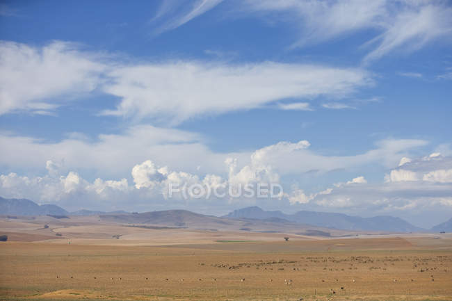 Landscape With Flocks Of Sheep In Western Cape Region Of South Africa — Stock Photo