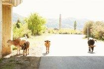 Коровы идут по дороге — стоковое фото