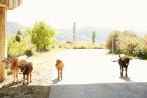 Vacas caminhando na estrada — Fotografia de Stock
