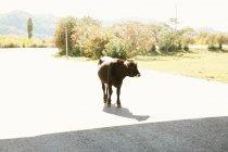 Bull walking on road — Stock Photo