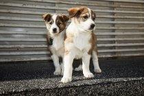 Piccoli cuccioli che si siede sulla strada — Foto stock