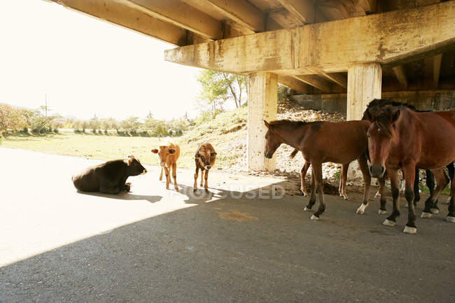 Cows and horses on road — Stock Photo