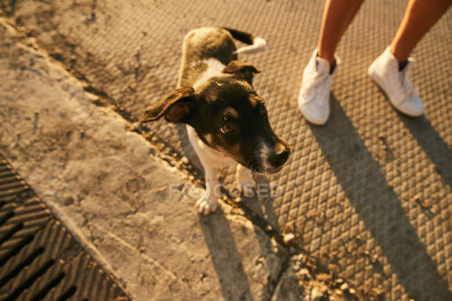 Puppy with female legs in white sneakers — Stock Photo