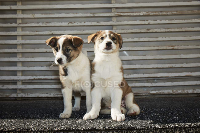 Little puppies sitting on street — Stock Photo