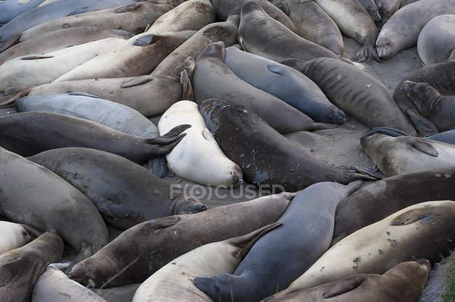 Focas descansando en la playa - foto de stock