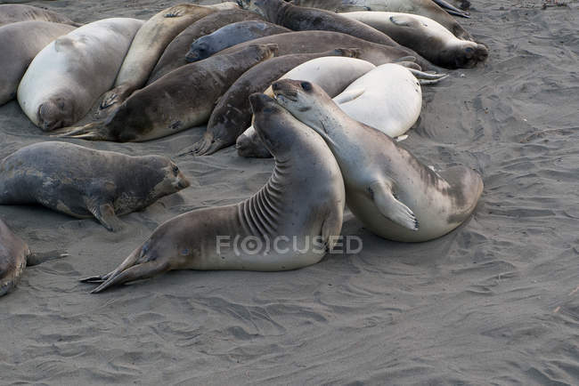 Seals mating on beach — Stock Photo