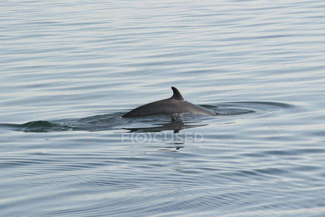 Delphin schwimmt im Wasser — Stockfoto