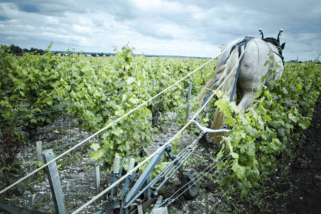 Horse pulling plow in vineyard — Stock Photo