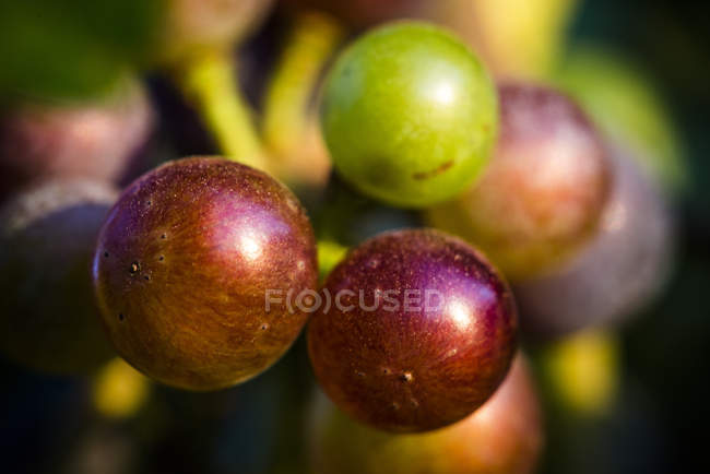 Close up of Grapes growing on vineyard — Stock Photo