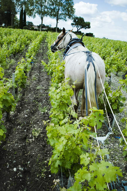 White Horse plowing in vineyard — Stock Photo