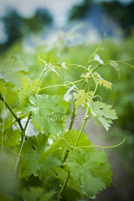 Close up of green grape leaves growing at vineyard — Stock Photo