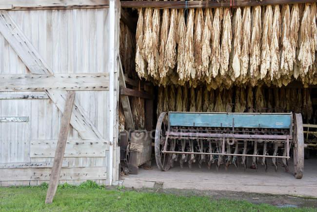 Hojas de tabaco secado en granero, Ephrata, Pennsylvania, Estados Unidos - foto de stock