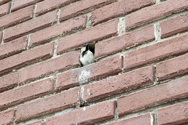 Птах сідати в отвір цегляна стіна — стокове фото