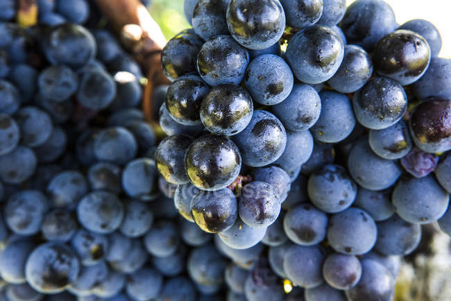 Close up of Bunches of ripe grapes, cropped image — Stock Photo
