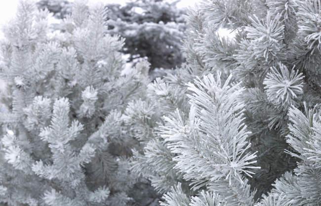 Ветви, охватываемых снег и Мороз — стоковое фото