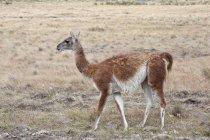 Вид збоку ходіння лама тварин у природному середовищі існування — стокове фото