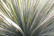 Dracaena plant leaves — Stock Photo