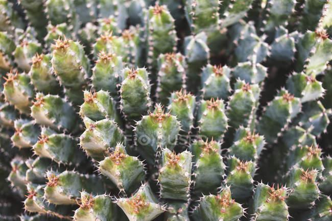 Nahaufnahme Kaktuspflanze — Stockfoto