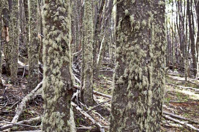 Scène naturelle avec mystic forest moussu, arborescence de troncs — Photo de stock