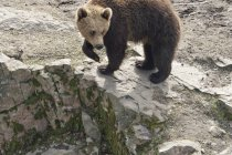 Brown bear standing on rock — Stock Photo