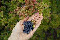 Mirtilli in mano sulle foglie — Foto stock