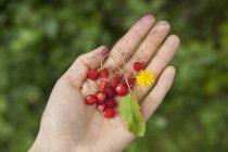 Fragole selvatiche in mano sul verde — Foto stock