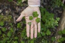 Wood sorrel in hand — Stock Photo