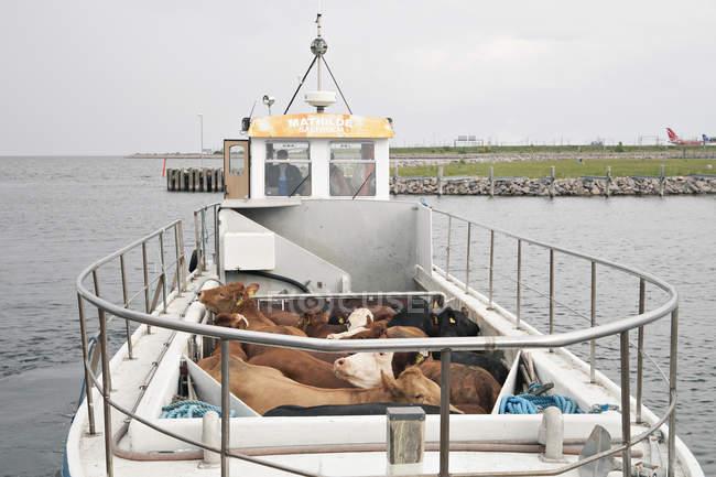 Коровы перевозят на лодке — стоковое фото