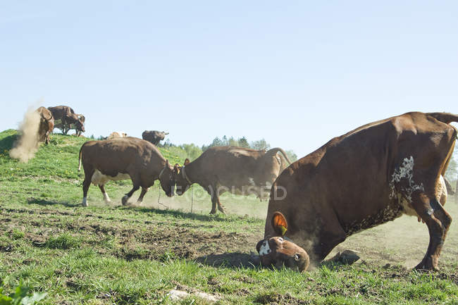 Vaches s'amuser dans la Prairie — Photo de stock
