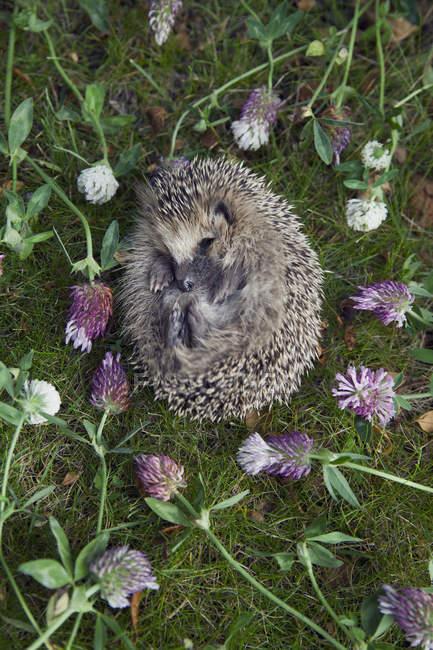 Їжак неправдивими amongs квіти — стокове фото