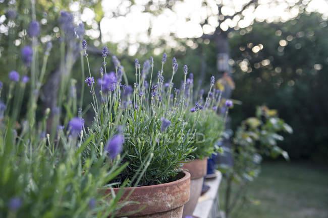 Fleurs de lavande en pots — Photo de stock