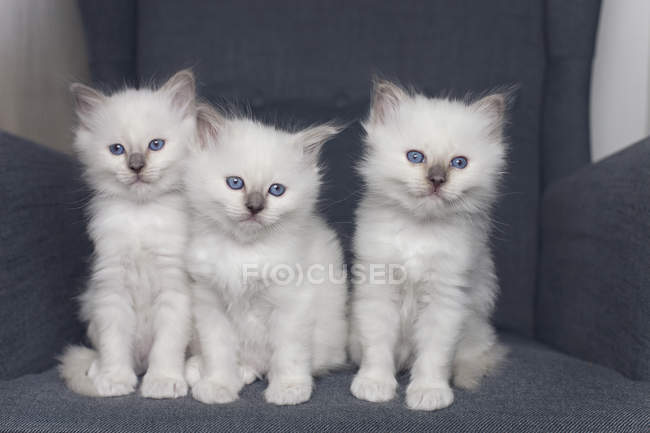 Three birman kittens sitting on gray armchair — Stock Photo