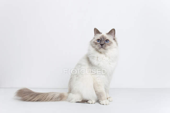 Adult sacred birman cat on white background — Stock Photo