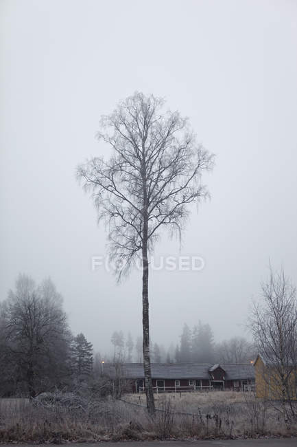 Береза дерева в лісі — стокове фото