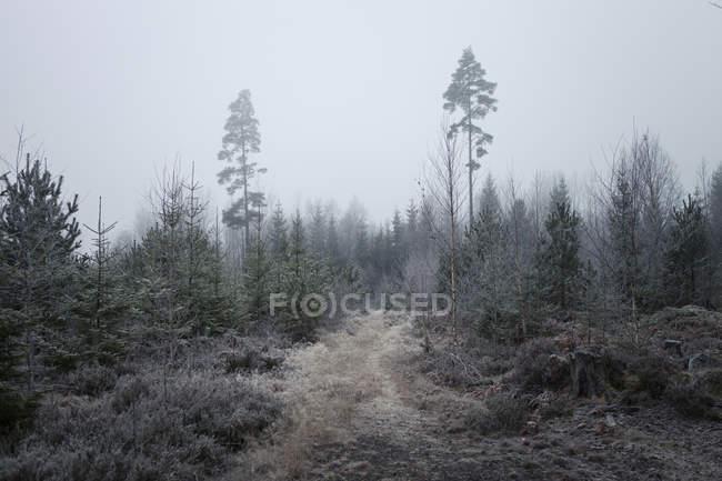Туманный вечнозеленые леса — стоковое фото