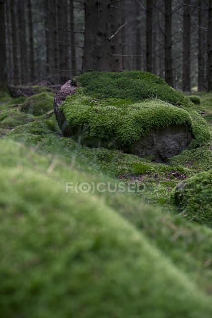 Зеленый мох в лесу — стоковое фото