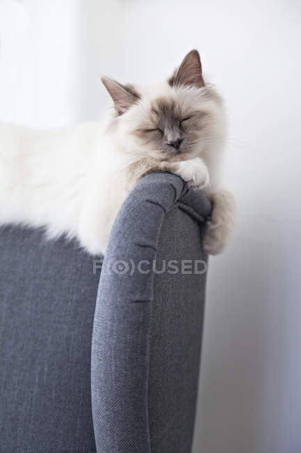 Sleeping birman cat on gray armchair back — Stock Photo