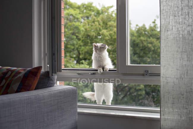 Drinnen Birman Katze klettert aus Fenster und schaut nach oben — Stockfoto