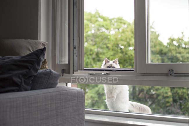 Indoor-Birman-Katze schaut durch Fenster — Stockfoto