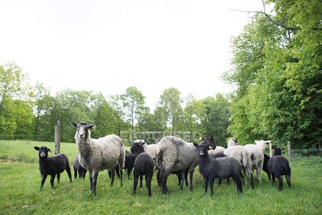 Gregge di pecore e agnelli sul prato verde — Foto stock