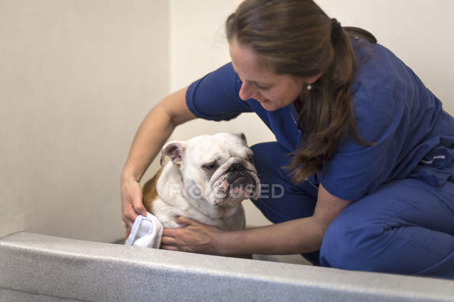 Cachorro de buldogue inglês secagem veterinário — Fotografia de Stock