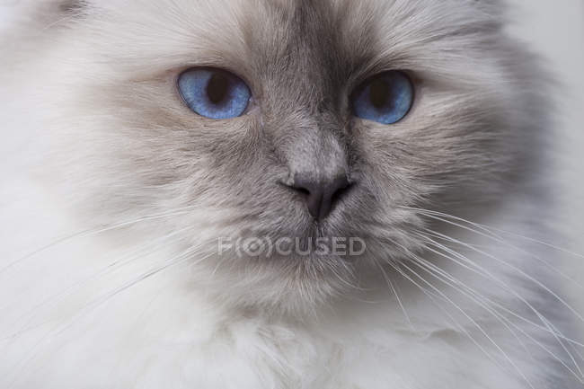 Portrait of sacred birman cat — Stock Photo