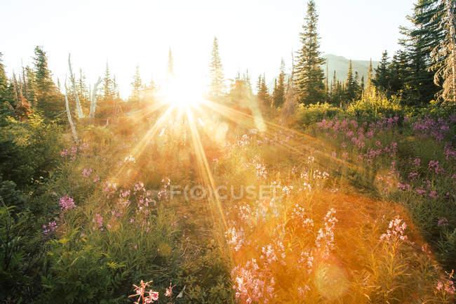 Восход солнца над цветущие горные луга и леса — стоковое фото