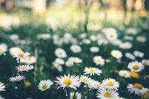 Grüne Wiese mit Gänseblümchen — Stockfoto