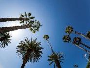 Palm Baumkronen und amerikanische Flagge — Stockfoto
