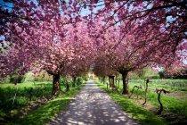 Árvores florescendo em linha — Fotografia de Stock