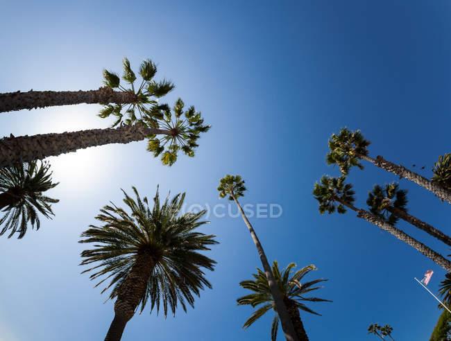 Palm верхівок дерев і американський прапор — стокове фото