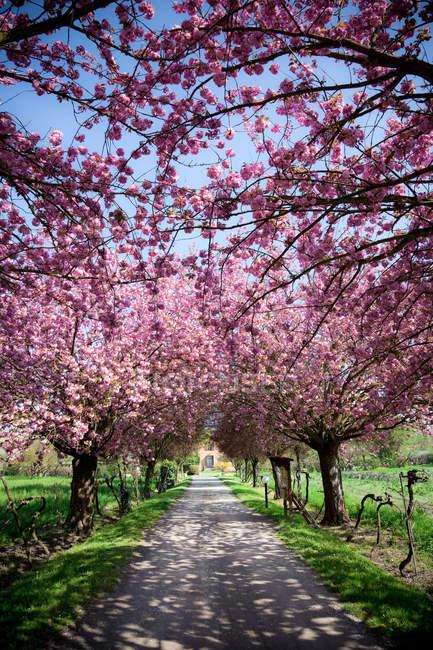 Цветущие деревья в строке — стоковое фото